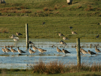 curlews img 8474