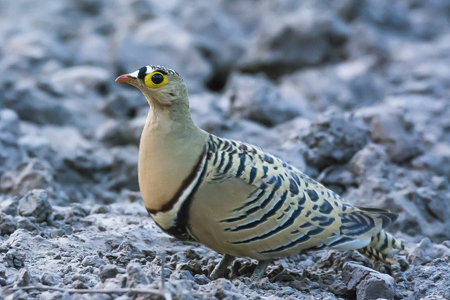 4 banded sandgrouse